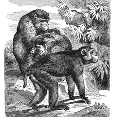 Rhesus Monkey Print