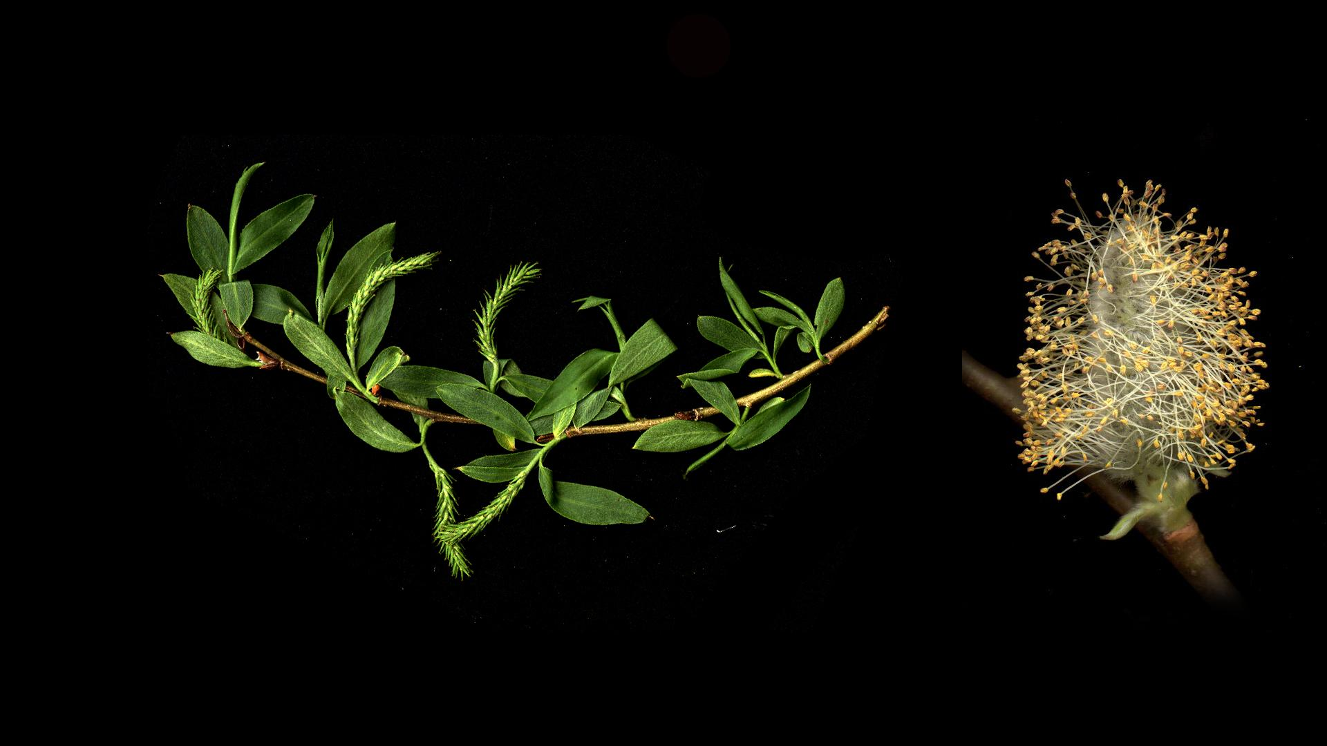 Salix - branch with female flowers and inset of male inflorescence