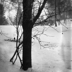 Chickadee in tree outside Burlington home