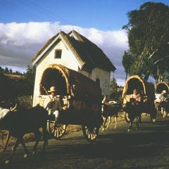 Covered Wagons Drawn by Zebu Cattle Returning from Market