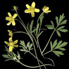 Scanned Ranunculus plant
