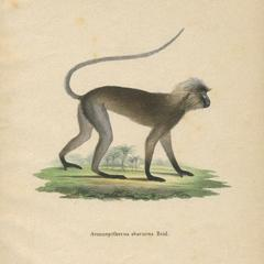 Gray Langur Print