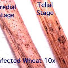Wheat rust - infected wheat stems