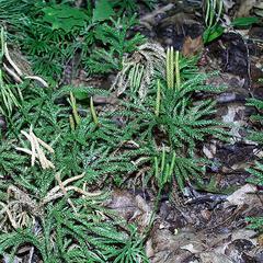 Diphasiastrum - growing with Lycopodium