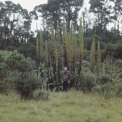 Rumex in cloud forest, Ojo de Agua