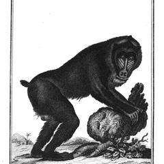 Le Choras (Olive baboon)