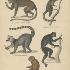 Prosimian and New World Monkey Group Print