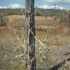 Open grown teosinte, north of El Progreso