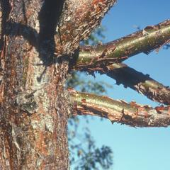 Bark of Bursera, west of Jutiapa