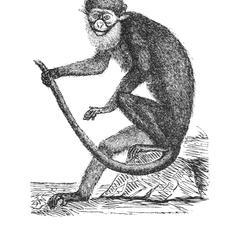 Guenon ascagne