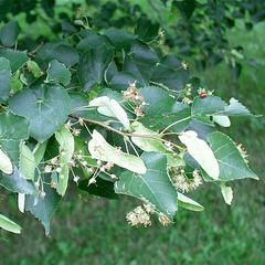 Flowers and fruit of Tilia cordata