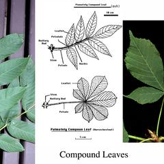 Composite of palmately vs pinnately compound leaves