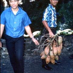 Harvested infructescence of Coconut palm