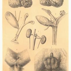 Lepilemur ruficaudatus