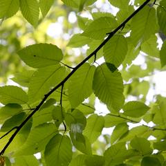 Yellow birch - view of the canopy