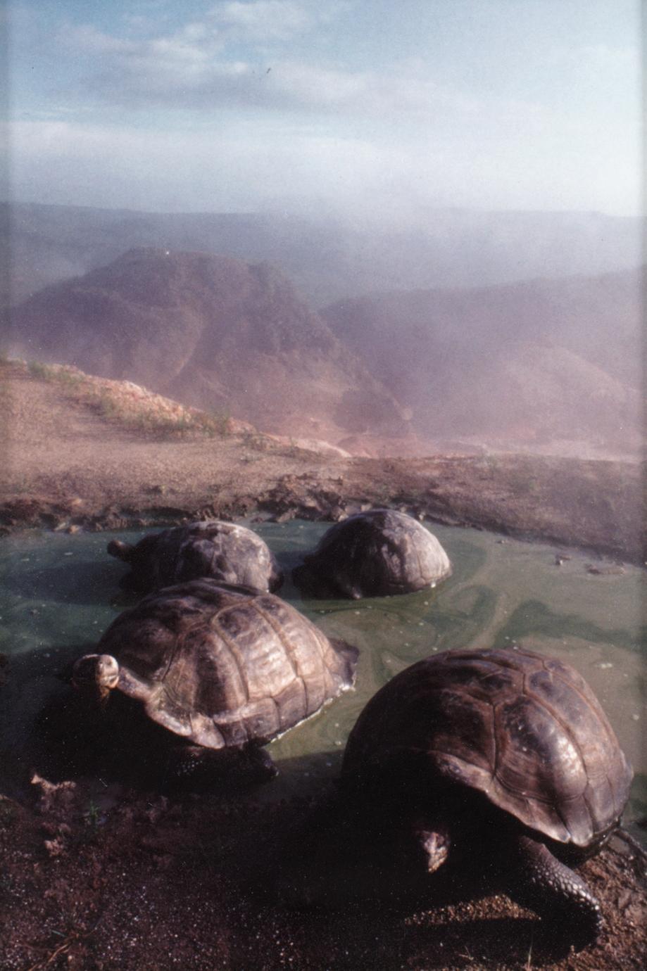 Galápagos Tortoises (Geochelone elephantopus vandenburghi)