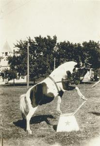 Pony, circus performer