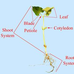 Young bean seedling with morphological parts labeled