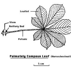 Labeled drawing of a palmately compound leaf