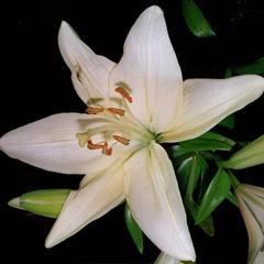 Lilium - flower