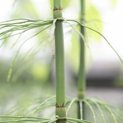 Equisetum giganteum - node with whorled branches