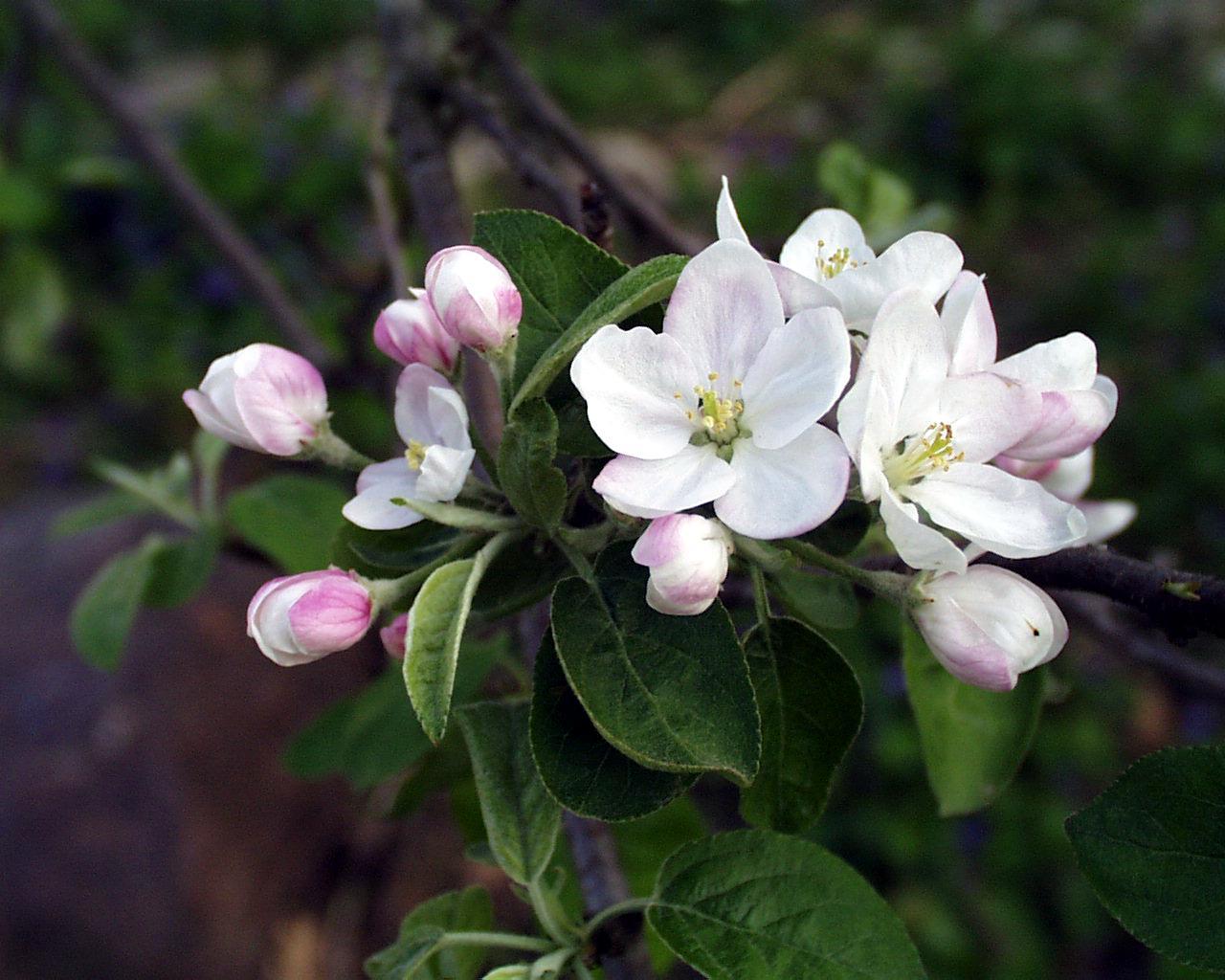 Malus domestica flowers