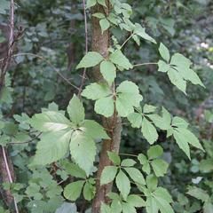 Climbing vine of Parthenocissus quinquefolia