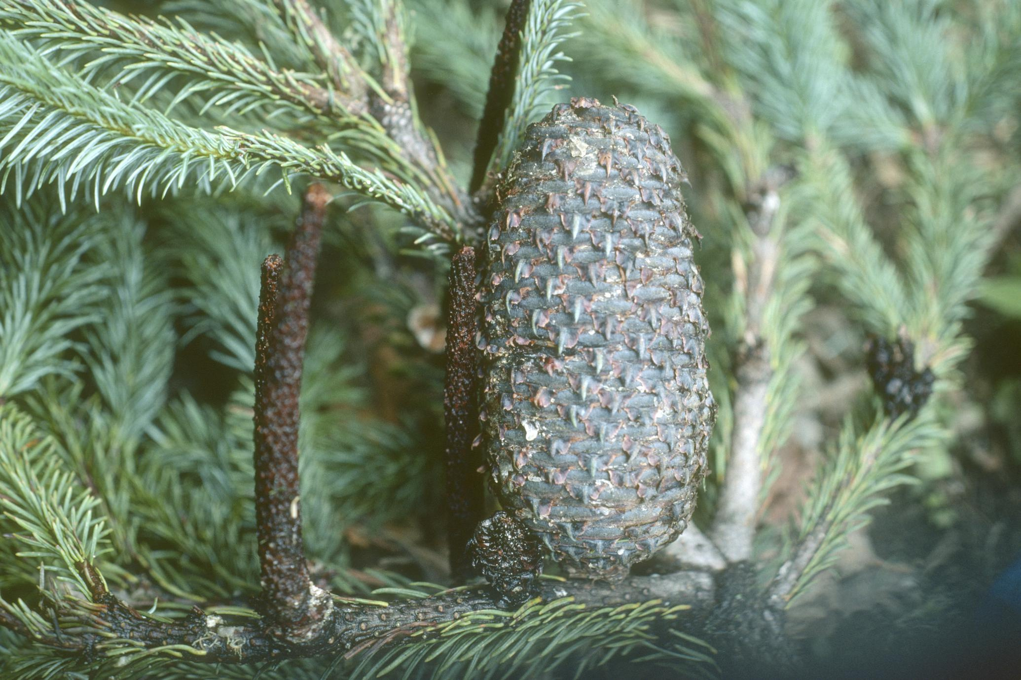 Abies Religiosa Cone In Cloud Forest Uwdc Uw Madison Libraries