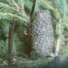 Abies religiosa cone, in cloud forest