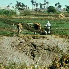 Farmer Using Wooden Plow in Wheat Field