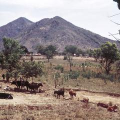Cattle in Mountains with Dyoaoy Village in Background
