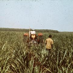 Sugar Plantation in Gunaid, Blue Nile Province