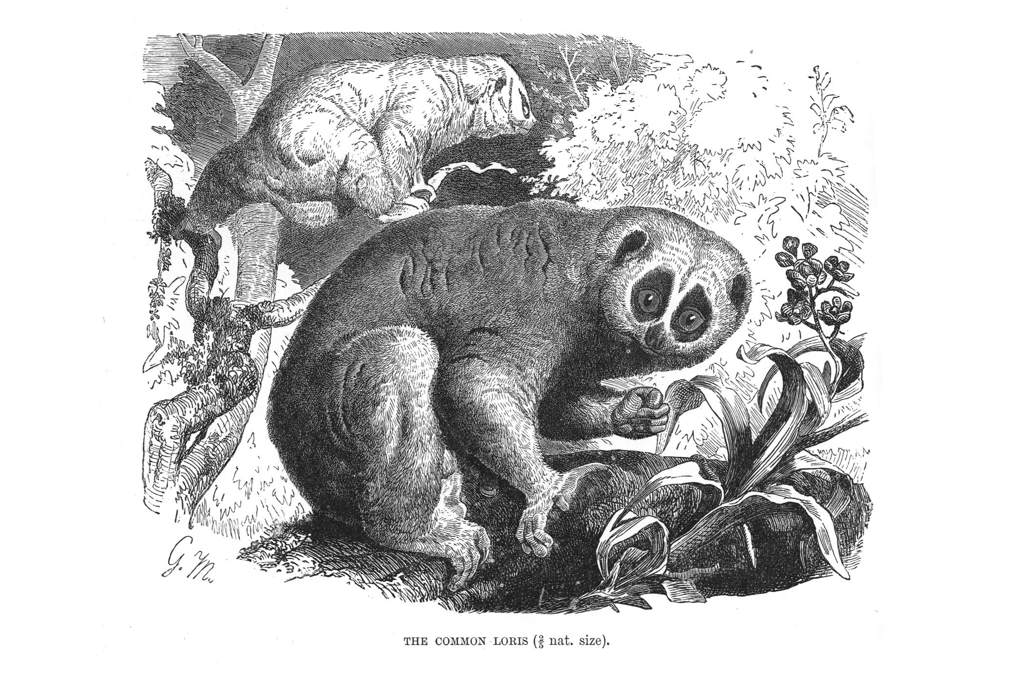 The Common Loris (2/5 nat. size)
