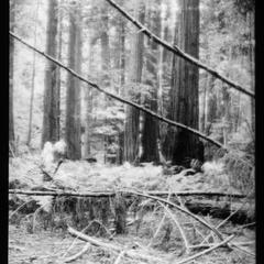 Redwoods near Ukiah
