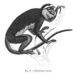 Miopithèque talopom