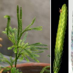 Lycopodium obscurum - strobilus composite with whole plant