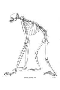 Squelette de gibbon varié (Variegated Gibbon