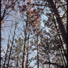 Dying pines along the beltline strip, University of Wisconsin–Madison Arboretum