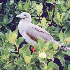 Red-footed Booby (Sula sula) in a Red Mangrove Tree (Rhizophora mangle)