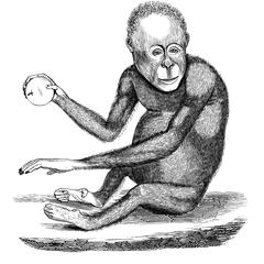 Orang-outang, d'après un vélin du Muséum. (Dessin assez mauvais.)