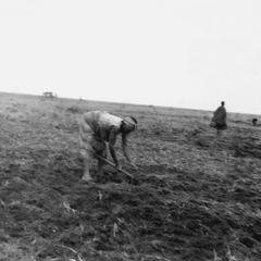 Preparing Field for Peanuts