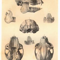 Propithecus edwardsii