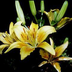 Lilium inflorescence