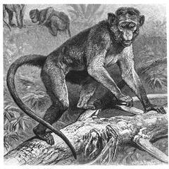 Bonnet Macaque Print