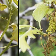 Composite of bur oak with female and male flowers