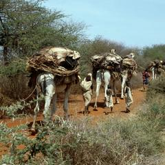 Camels Carrying Basic Materials for a House