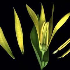 Dissected flower of Uvularia grandiflora