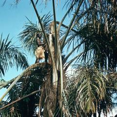 Palm Wine Tapper at Work in Palm Tree