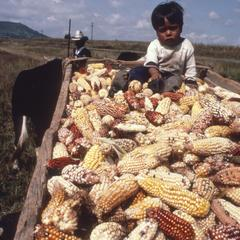 Local boy with truckload of corn