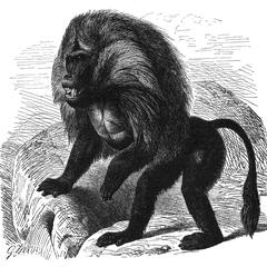 Lion-Tailed Macaque Print